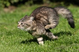 Picture-of-day--nbsp-running-cat