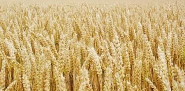 Blé-agriculture-nouvelle-blog1-1024x508
